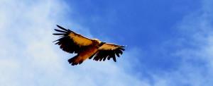 Himalayan-Griffon-vulture_balari-top-Purvash-Jha_Rustik_Travel