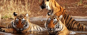 Tigers in Ranthambore Tiger Reserve