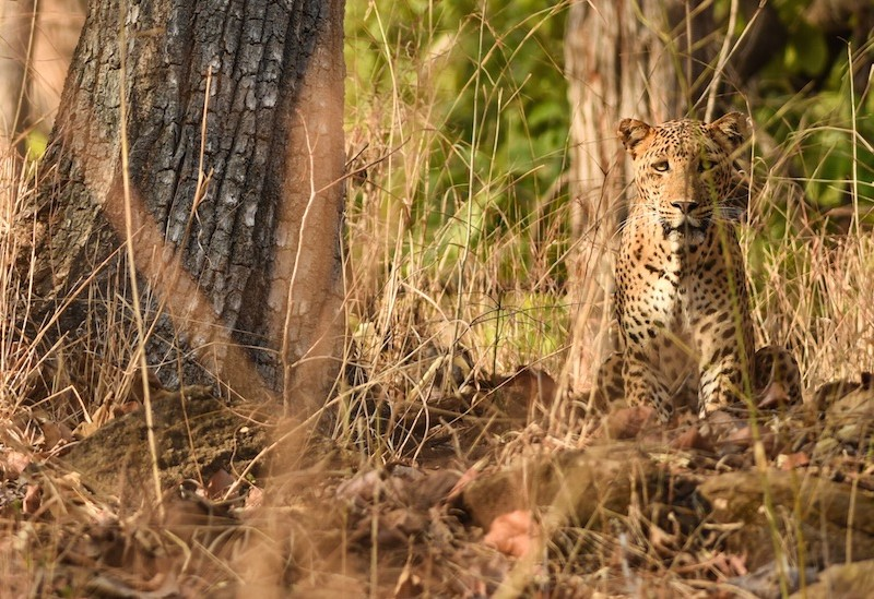 Leopard in Satpura National Park