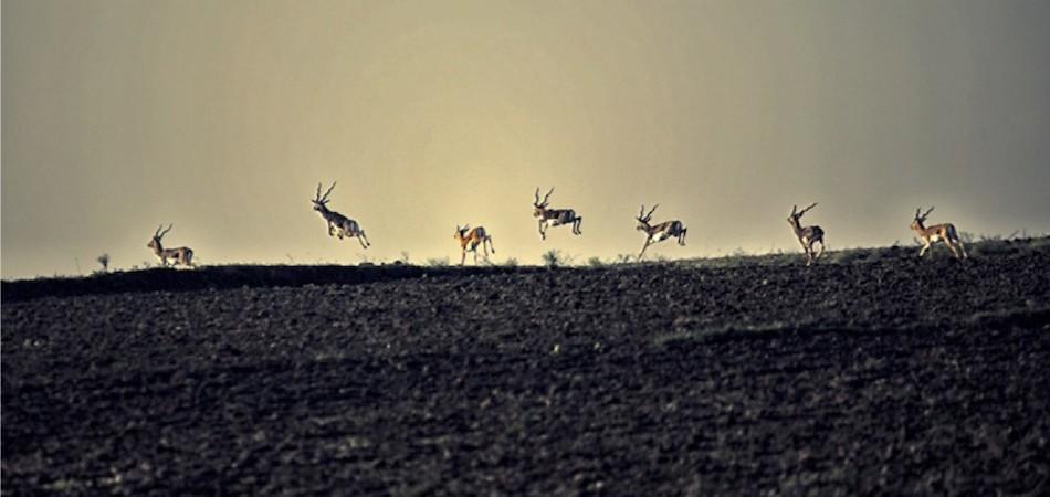 Black Bucks in Satpura National Park