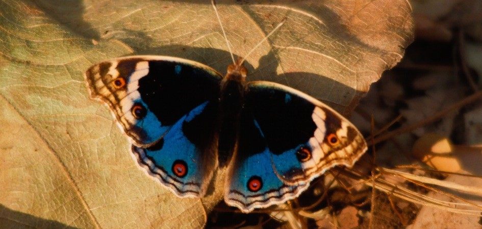 Butterfly in Satpura National Park